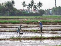 Wietnamscy pracownik rośliny ryż w zalewającym polu, ciężka praca w środkowym Wietnam Zdjęcia Stock