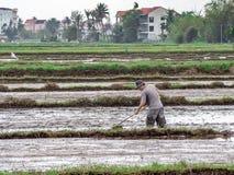 Wietnamscy pracownik rośliny ryż w zalewającym polu, ciężka praca w środkowym Wietnam Obraz Royalty Free