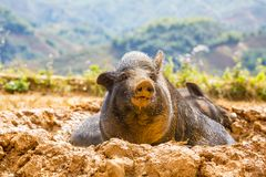 Wietnamska świnia Zdjęcia Royalty Free