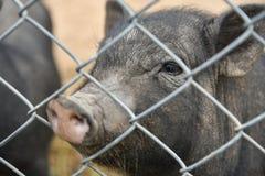 Wietnamska świnia w klatce przy zoo obraz royalty free