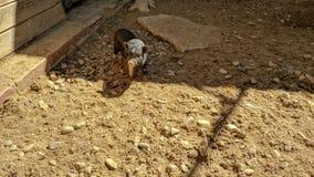 Wietnamska czarna świnia w odważnej pozycji obrazy stock