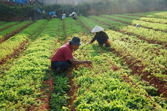 Wietnamski średniorolny działanie na marchewki polu Obraz Stock