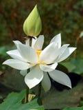 Wietnamski kwiat, biały lotosowy kwiat Fotografia Royalty Free