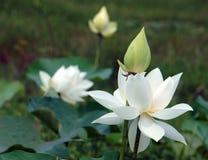 Wietnamski kwiat, biały lotosowy kwiat Fotografia Stock