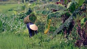 Wietnamski Średniorolny Zbiera Rice Obraz Stock