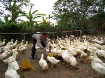 Wietnamski rolnik karmić kaczki ryż Fotografia Royalty Free