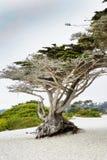 Wietrzejący drzewo w Carmel, CA fotografia stock
