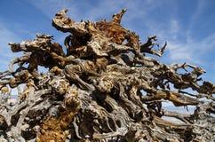 Wietrzejący sosna korzenie obrazy royalty free