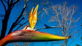 Wietrzejący ptak raju kwiat Zdjęcia Royalty Free