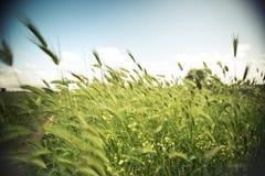 Wietrzni nieuprawni jęczmieni pola Zdjęcie Royalty Free