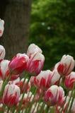 Wietrzni tulipany Obraz Stock