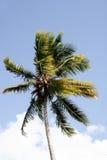 Wietrzny drzewko palmowe Fotografia Royalty Free
