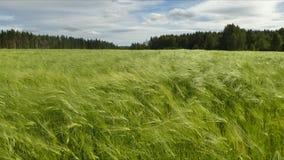 Wietrzny kukurydzany pole zbiory wideo