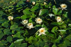 Wiew of white water lilies. Detail view of some white water lilies Stock Image