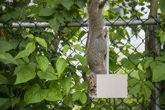 Wiewiórczy wiszący do góry nogami w ptasim dozowniku z ziarnem w swój usta obraz stock