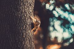 Wiewiórka na stronie drzewny patrzeć daleko w odległość obraz stock