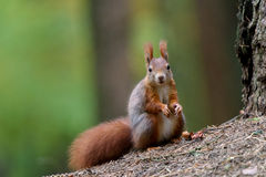 Wiewiórcza jesień Fotografia Royalty Free