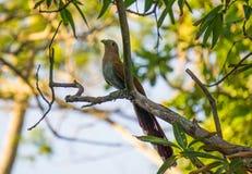Wiewiórcza kukułka Fotografia Stock