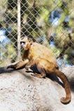 Wiewiórcza małpa Obrazy Stock