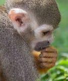 Wiewiórcza małpa Zdjęcie Stock