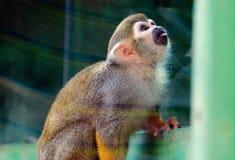 Wiewiórcza małpa Fotografia Stock