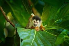 Wiewiórcza małpa, Saimiri oerstedii, siedzi na drzewnym bagażniku z zielonymi liśćmi, Corcovado NP, Costa Rica Małpa w zwrotniku obrazy stock