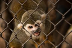 Wiewiórcza małpa w klatce obrazy stock