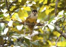 Wiewiórcza małpa w tropikalnym lesie deszczowym, corcovado nat park, costa rica Zdjęcia Royalty Free