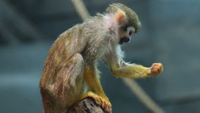 Wiewiórcza małpa w wolierze zbiory wideo