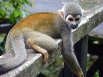 Wiewiórcza małpa Fotografia Royalty Free