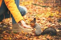 Wiewiórcze łasowanie dokrętki od kobiety ręki i jesień liści na tło dzikiej naturze Fotografia Royalty Free