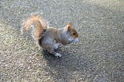 Wiewiórcze łasowanie dokrętki w parku Zdjęcie Stock