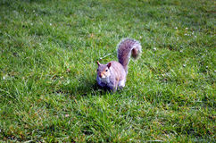 Wiewiórcze łasowanie dokrętki w parku Zdjęcie Royalty Free