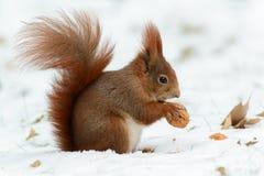 Wiewiórcze łupanie dokrętki Zdjęcia Royalty Free