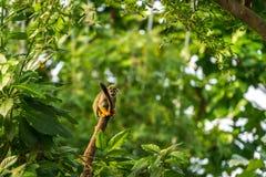 Wiewiórczej małpy obsiadanie na drewnie Fotografia Royalty Free