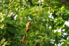 Wiewiórczej małpy obsiadanie na drewnie Zdjęcia Royalty Free