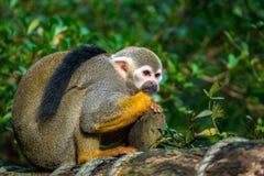 Wiewiórczej małpy obsiadanie na drewnie Obraz Royalty Free