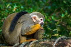 Wiewiórczej małpy obsiadanie na drewnie Zdjęcia Stock