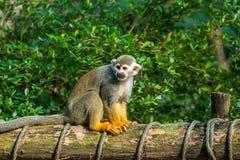 Wiewiórczej małpy obsiadanie na drewnie Fotografia Stock