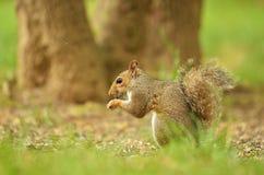 Wiewiórczy łasowań ziarna Fotografia Royalty Free