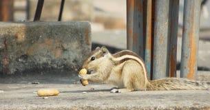 Wiewiórczy łasowania groundnut obsiadanie na ściennym dnia czasie w naturalnym siedlisku Obrazy Stock