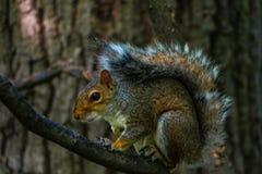 Wiewiórczy łasowanie na dużej gałąź w central park w Nowy Jork zdjęcia stock