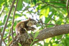 Wiewiórczy łasowanie na gałęziastym drzewie Fotografia Royalty Free
