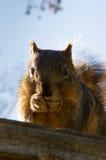 Wiewiórczy łasowanie z Oba łapami podczas gdy odpoczywający na górze birdhouse Obraz Stock