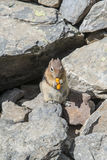 Wiewiórczy łasowania chitose Fotografia Stock