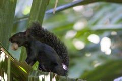 Wiewiórczy łasowania hazelnut w drzewnym Meksyk, Tabasco, Villahermosa Obraz Royalty Free