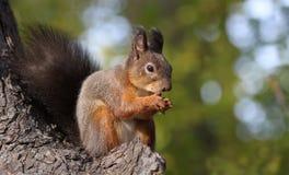 Wiewiórczy łasowanie fotografia stock