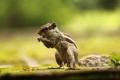 Wiewiórczy łasowanie przy ogródem Fotografia Stock