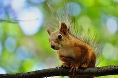 Wiewiórczy Błagać dla jedzenia Zdjęcie Royalty Free