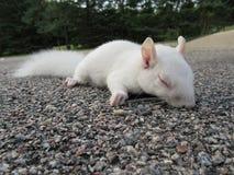 wiewiórczy biel Zdjęcie Royalty Free
